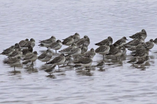 IMG_6972-Bar-tailed-Godwit-Grey-Plover-Dunlin-Edit