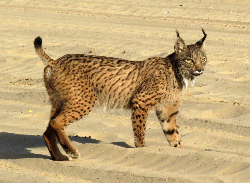 Iberian Lynx in Doñana