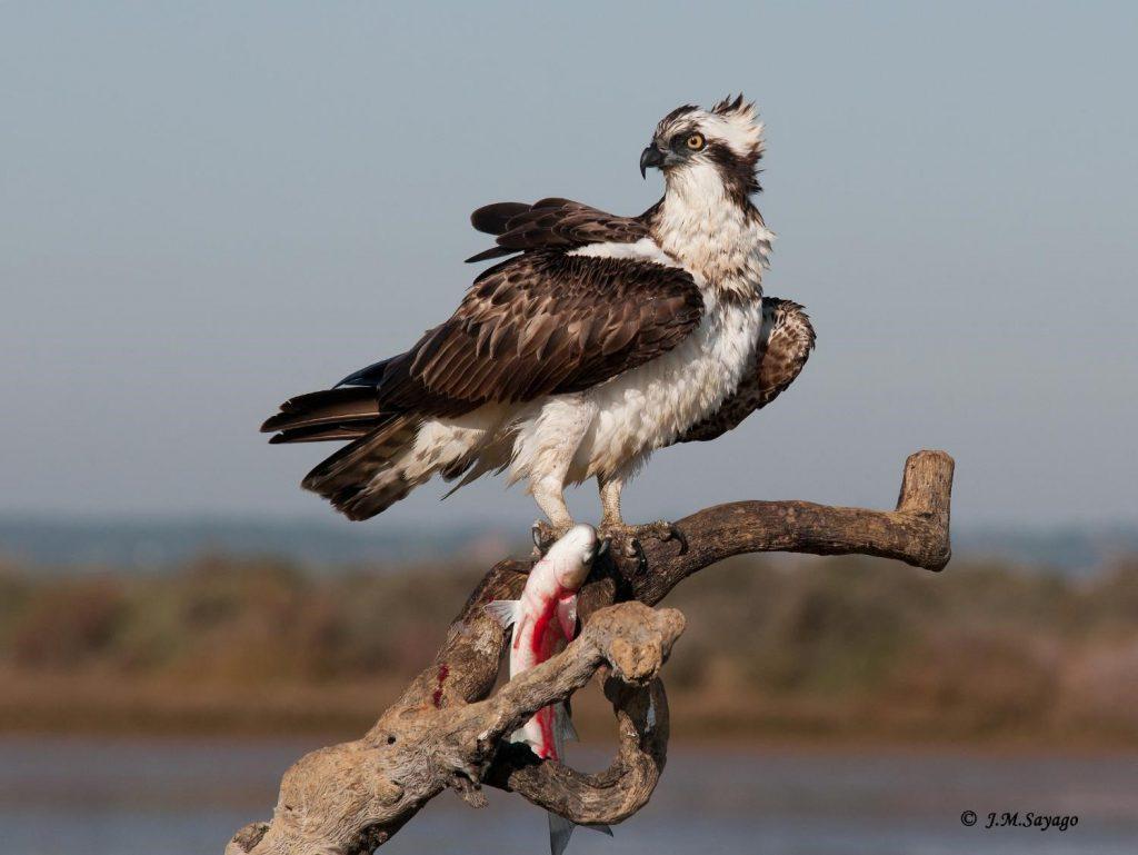 Osprey Odiel Marshes